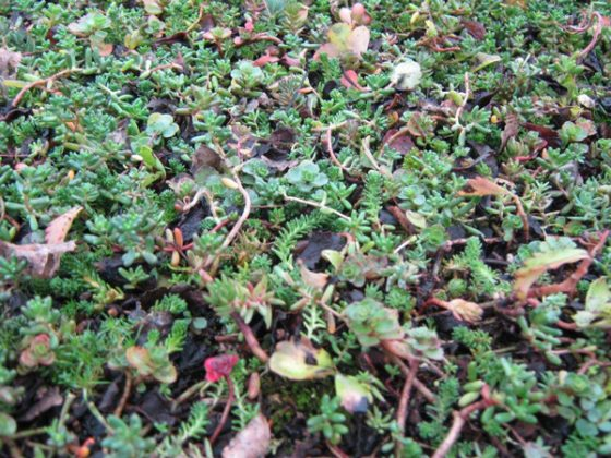 Green roof before flowering