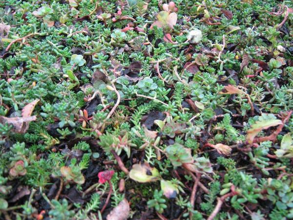 Green roof before flowering